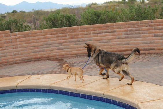 Bowzer is a German Shepherd that wants to be a professional dog trainer. Here he is teaching Commeci, a Chihuahua mix, how to heel and walk on leash without pulling. tucsonadventuredogranch.com: