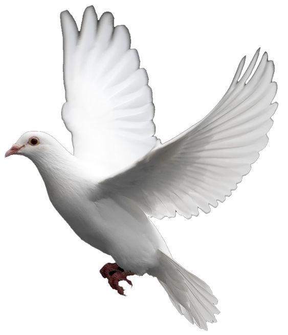 White Dove Symbolic Meaning