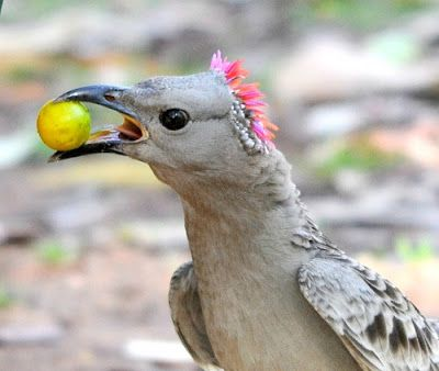 The Great Bowerbird
