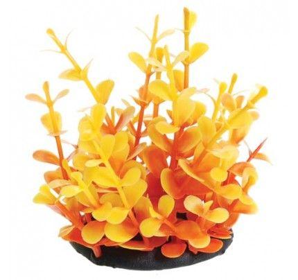 "Underwater Treasures Orange Moneywort - 2.5"""