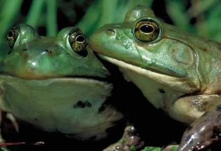 American Bullfrog, part of an exhibition called Frogs: A Chorus of Colors, May 18, 2013-January 5, 2014