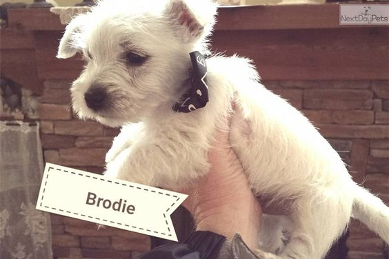 You'll love this Male West Highland White Terrier - Westie puppy looking for a new home.