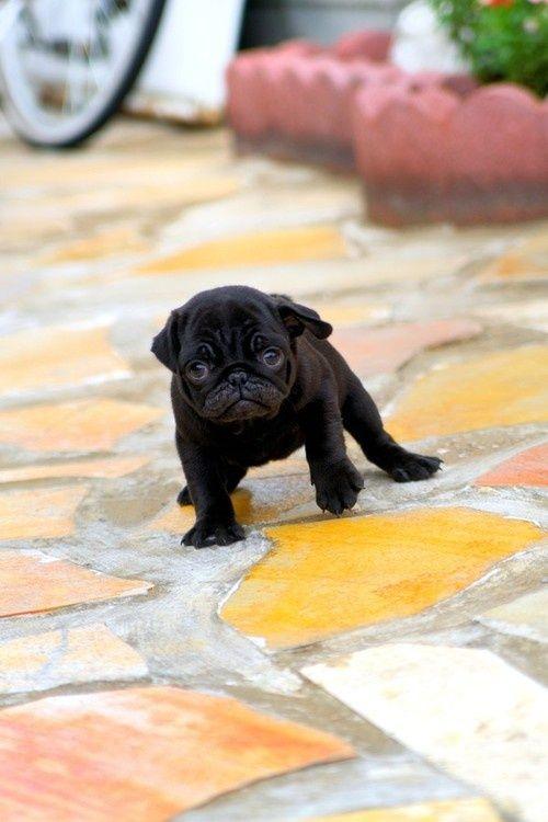 Cute yittle Black Pug Puppy