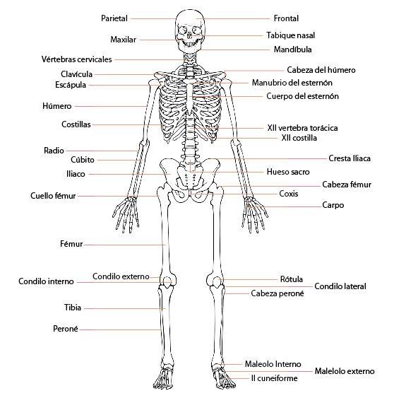 Huesos del cuerpo humano projects pinterest for Medidas ergonomicas del cuerpo humano