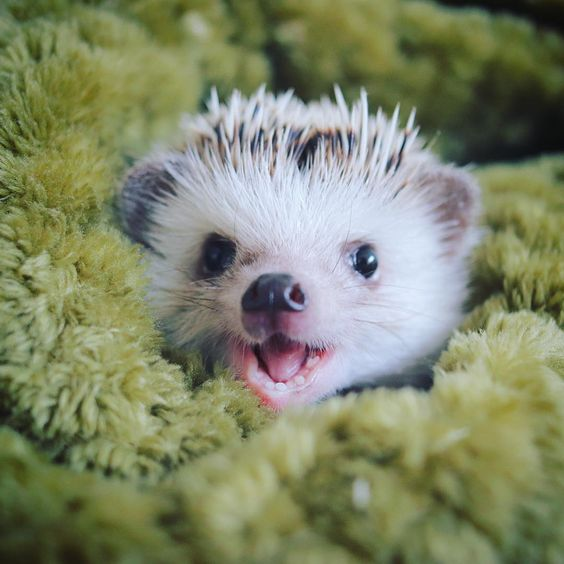 21 Hedgehogs That Really Have No Idea How Damn Cute They Are