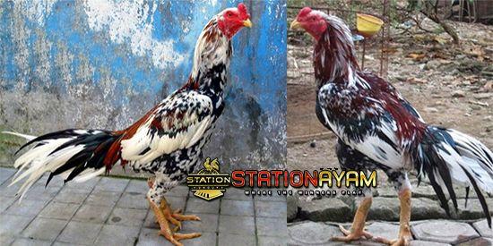 Cara Merawat Ayam Potong Dengan Baik