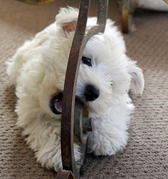 Madison, a Cute Little West Highland Terrier Baby Puppy: