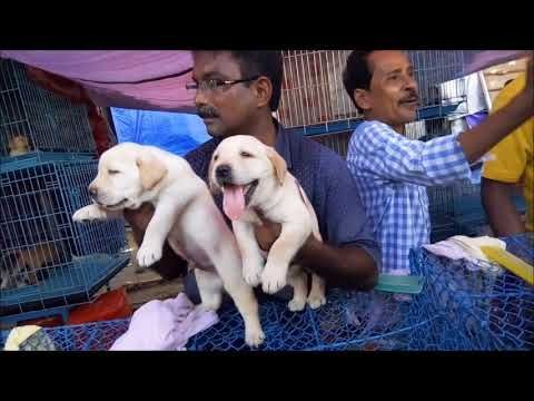 Show Quality Heavy Bone Punch Faced Labrador Retriever Puppy L