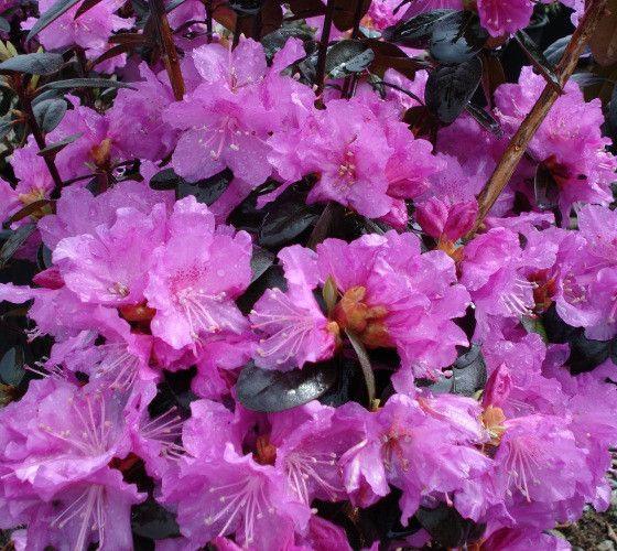 PJM Elite Lavender Rhododendron