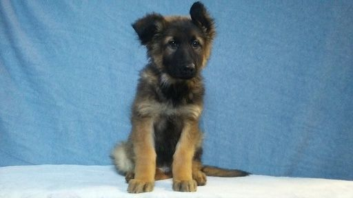 Litter Of 3 German Shepherd Dog Puppies For Sale In Logan Oh Adn