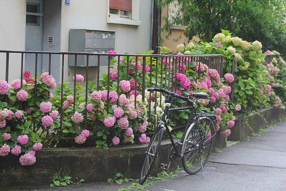Amazing pink hydrangeas