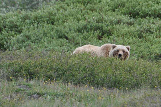 Mama Grizzly Bear, photo I took in Denali National Park, Alaska