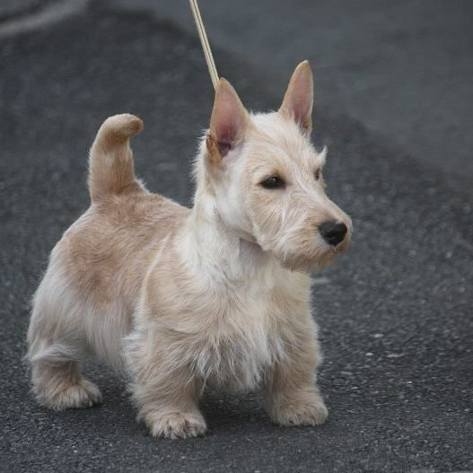 The Official Standard Scottish Terrier Club Of The Piedmont