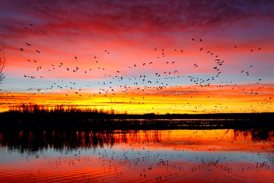 Sunrise, lake, birds     Google Image Result for http://www.birdsasart.com/baacom/wp-content/gallery/bulletin-2012/snow-geese-sunrise-fly-in-_w5c0984-bosque-del-apac...
