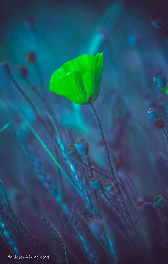 Neon Flower ... Amapola distinta - Gracias por pasarte