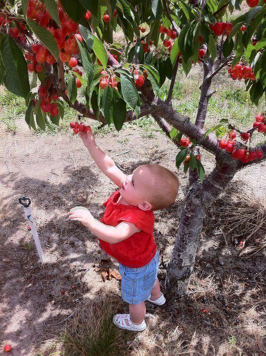 Ray French Orchard Richard Washington Upick Apples Cherries Nectarines And Peaches Visit Upickfarmlocator Com Vacation Activities U Pick Apples Cherry Farm