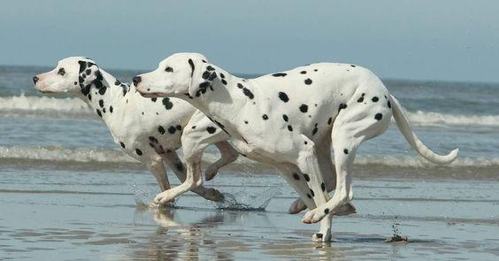 #dalmatian   #dalmatians   #fun   #dalmatiansofinstagram   #fast   #dalmatians_of_instagram   #run   #runner   #ruffpost   #bestwoof   #ilovemydog   #dogscorner   #dogs   #sendadogphoto   #dogsandpals   #dog   #igdogs   #competition   #beachdog   #beachlife   #doglovers   #doglife   #happydog   #dalmatian_central   #dalmata   #dogaccount   #picoftheday   #dogoftheday   #dogpic   #dogphotography