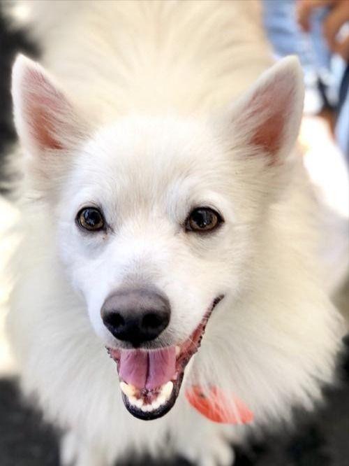 Looking For A Floofer American Eskimo Dog Dog Adoption Cat Adoption