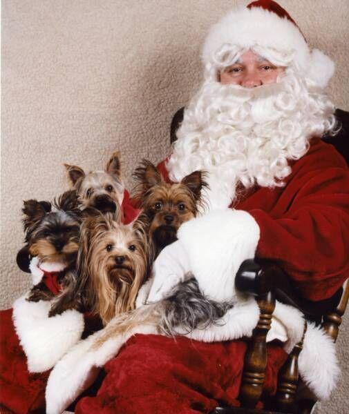 Yorkies & Santa