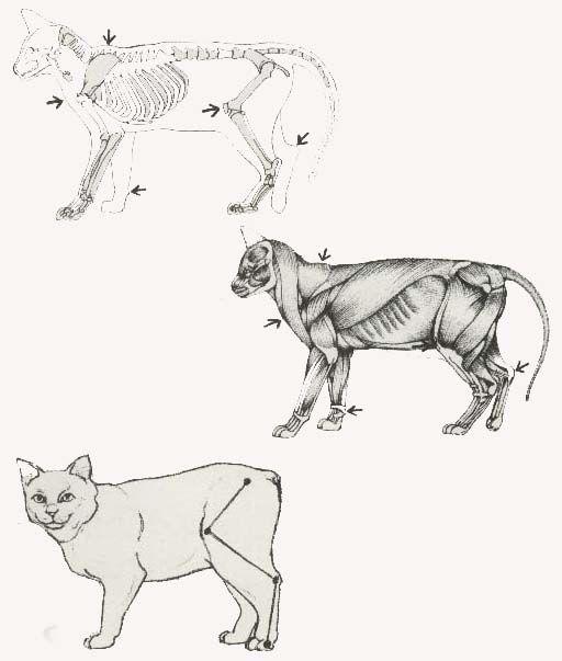 猫の骨格と筋肉を学ぼう 猫 骨格 動物のスケッチ 猫のスケッチ
