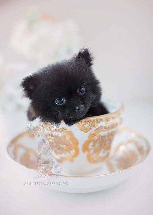 Beautiful Black Pomeranian Puppy By Teacup Puppies Boutique