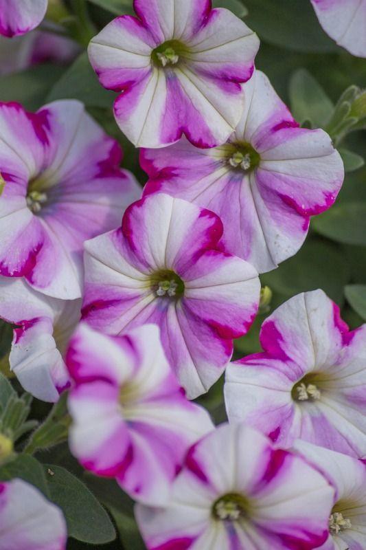 Petunia In 2020 Petunia Flower Petunias Beautiful Flowers