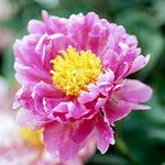 Plant encyclopedia. Search perennials, annuals, trees, shrubs and everything else! and get planting advice different varieties.