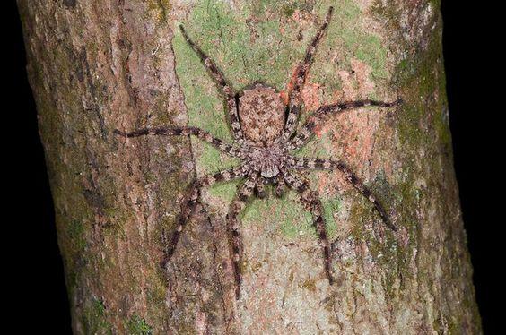Cientistas descobrem aranha brasileira capaz de voar