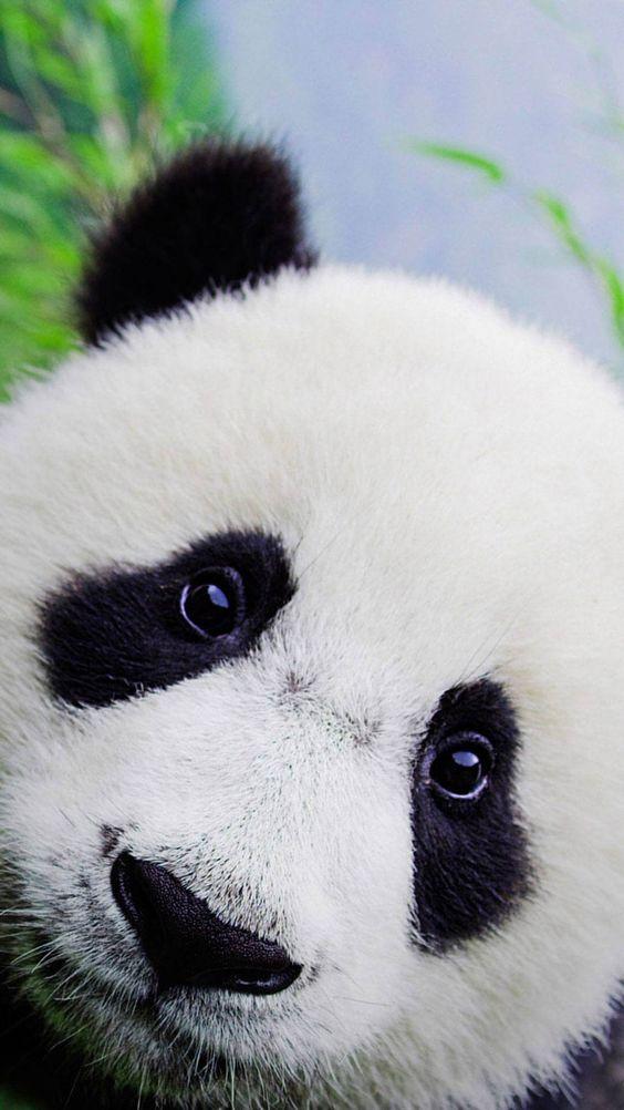 Cute Baby Panda Wallpaper For iPhone HD Animal Wallpaper