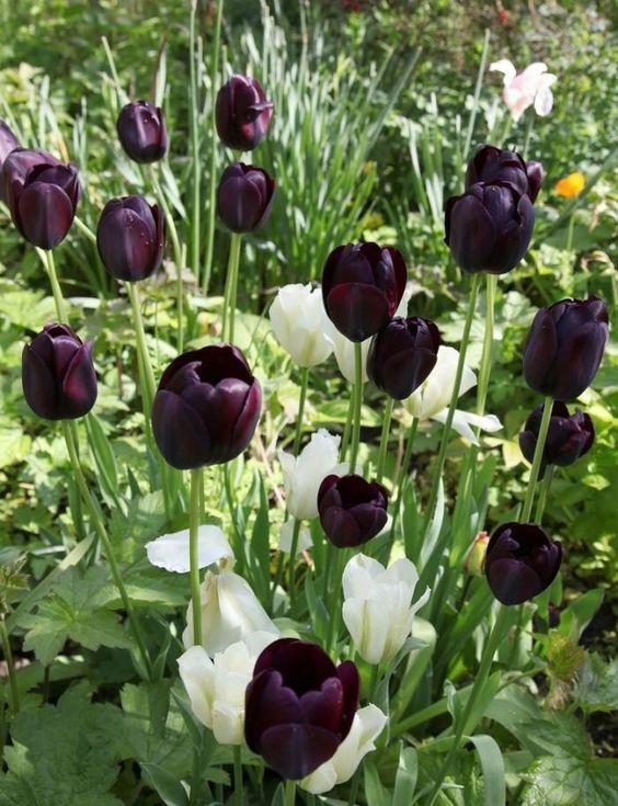 Pin By Ani Lim On Flower Tulips Garden White Flower Farm Gothic Garden