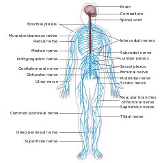 Nervous system diagram-en.svg