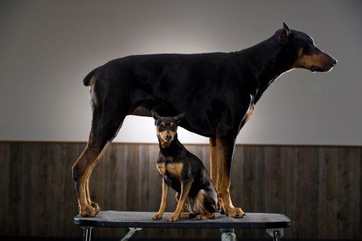 How To Improve Your Doberman Pinscher S Skin And Coat Doberman Puppy