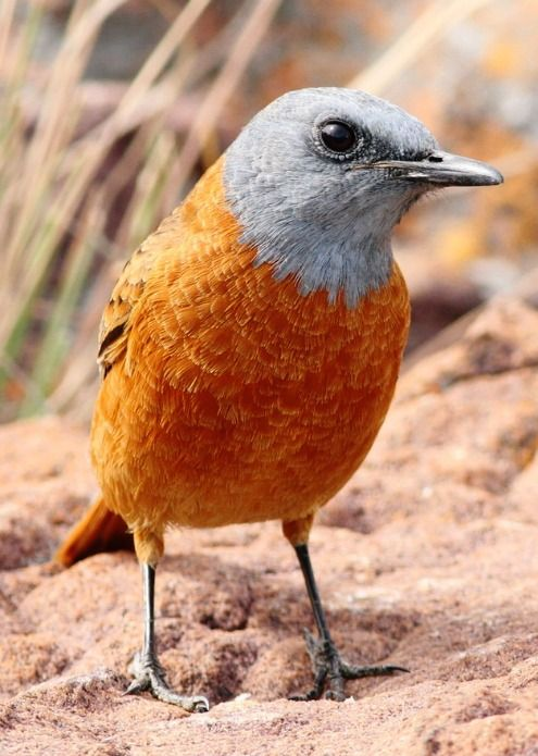 Cape Rock Thrush (Monticola rupestris). A large thrush of mountainous rocky areas of South Africa. photo: Derek Keats.