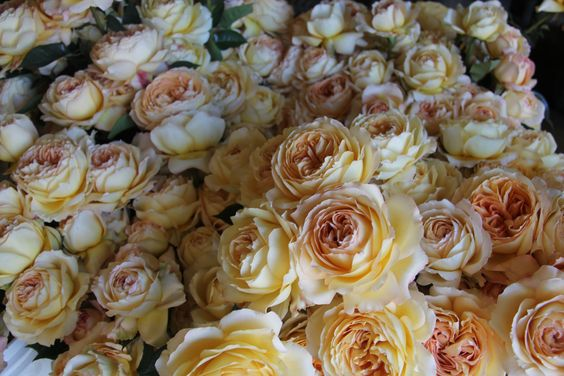 Garden roses, Caramel and Roses on Pinterest