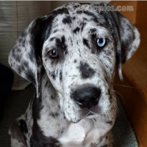 Litter Of 9 Great Dane Puppies For Sale In Neenah Wi Adn 20694
