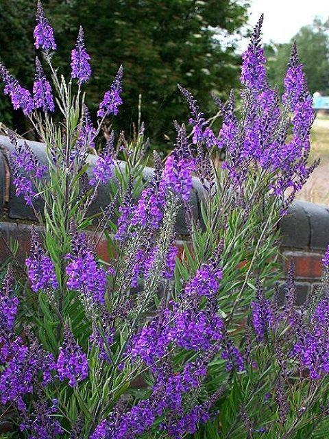 Toadflax Planting Flowers Purple Plants Plants