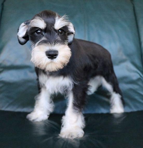 Colorado Miniature Schnauzer Puppy With Images Miniature Schnauzer Puppies Schnauzer Puppy Miniature Schnauzer