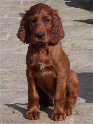 8. Setter Irlandés | Su pelaje es moderadamente largo, sedoso y de color rojo o castaño. Toma en cuenta que requiere cepillado frecuente.
