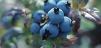 How to Make Soil More Acidic for Blueberry Bushes | eHow