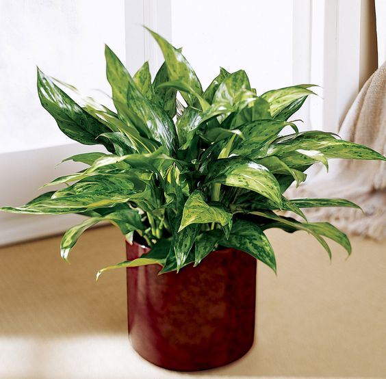 Ftd Valentine's Day Deals. The FTD Chinese Evergreen