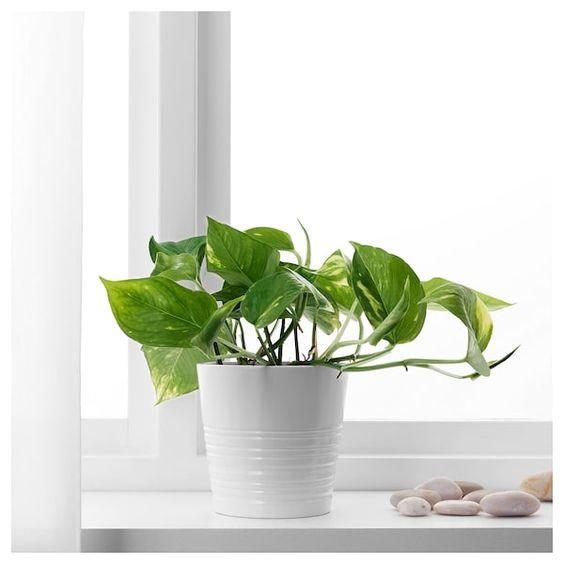 SCINDAPSUS Potted plant - 12cm £2.50 Golden Pothos - IKEA