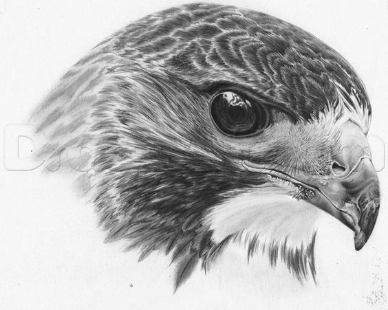 how to draw a realistic hawk step 23 | Apprendre à ...