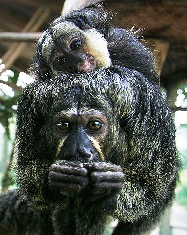 Isabel's Saki is one of five new saki monkey species discovered.