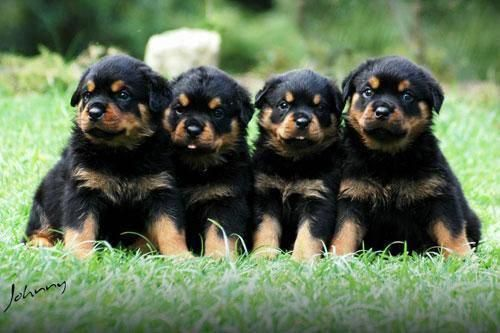 Determine Even More Information On Rottweiler Pups Visit Our
