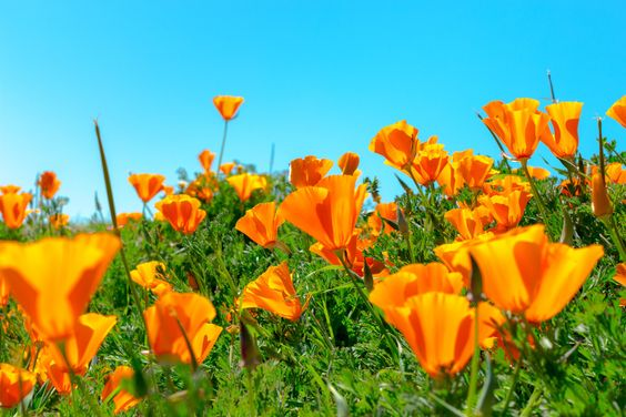 Poppies on the hillside by Michael Shostack on 500px
