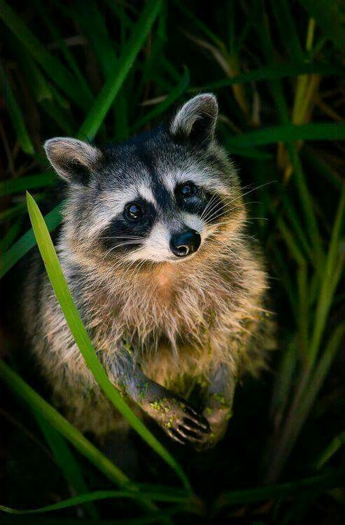 Raccoon looking up from the tall green grass. Cute little face and expressive eyes with his little hands held up. Awe. Nature Photography.