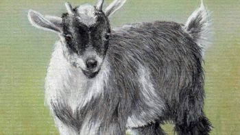 Pygmy Goat [Video Course] | Learn to draw this Pygmy Goat using Pastel Pencils. Video Course.