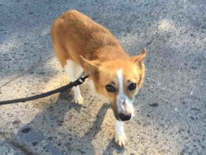 RETURNED 9/6/16 PET CONFL!!! SHAME ON YOU ADOPTER!! THEY HAVE FEELINGS TOO YOU KNOW!! POOR GIRL NOW SHE'S SUPER URGENT Brooklyn Center - SAFE 9/3/16 Brooklyn Center FOXY – A1087818 FEMALE, TAN / WHITE, WELSH CORGI CAR MIX, 5 yrs STRAY – STRAY WAIT, HOLD FOR EVENT Reason STRAY Intake condition EXAM REQ Intake Date 08/29/2016, From NY 11693, DueOut Date 09/01/2016,