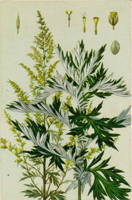 cây ngải cứu - y tế sơn hương