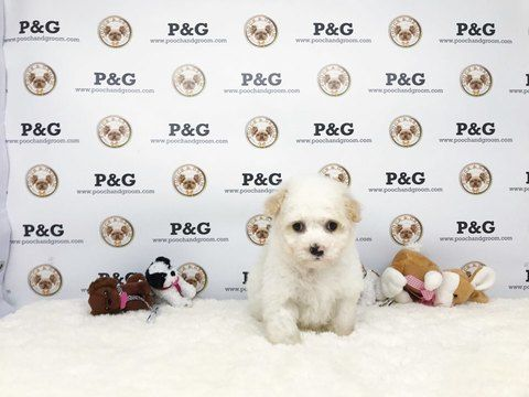 Maltipoo Mix Puppy For Sale In Temple City Ca Adn 70895 On
